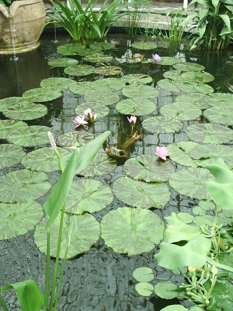 flowering lilypads float on a serene pond
