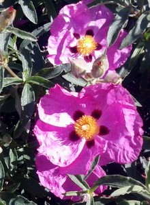 pink, red and yellow cistus flowers