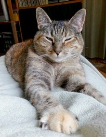 a striped cat with a contented expression lies facing the camera, with her paws extended out towards the screen
