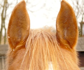 A photo showing the ears of a horse, pricked up as if listening to some sound