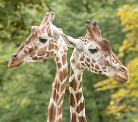 The heads of two giraffes standing close together but looking away from each other against a leafy background of trees