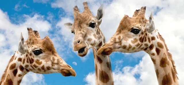 The heads of three giraffes standing in a circle facing each other as if they are all discussing something