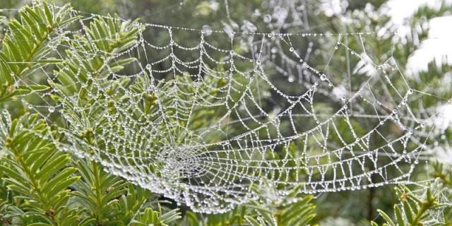 A dewy spiderweb against a background of evergreen boughs