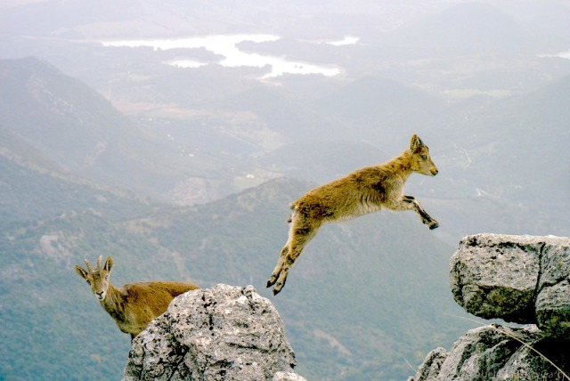 A wild goat leaps from one high rock to another against the background of a valley far below, while another goat loks inquisitively into the camera