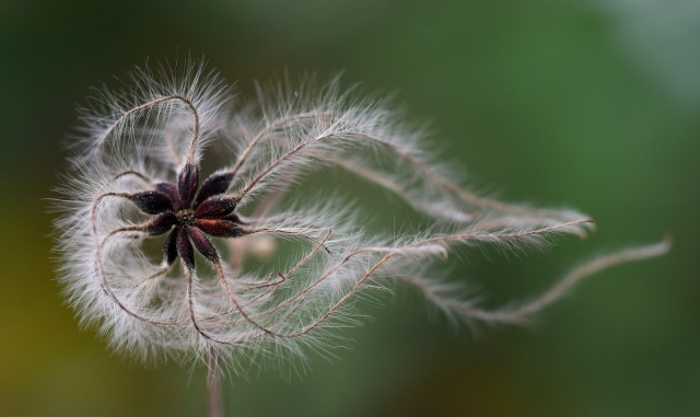 Seed pods on a dry stem with fuzzy filaments blowing in one direction