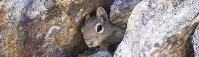 A chipmunk peers warily out from between large boulders