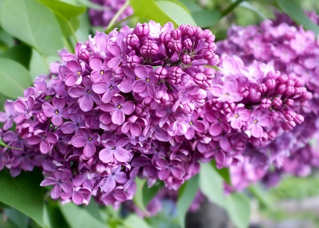 Two blooming purple lilac flower heads